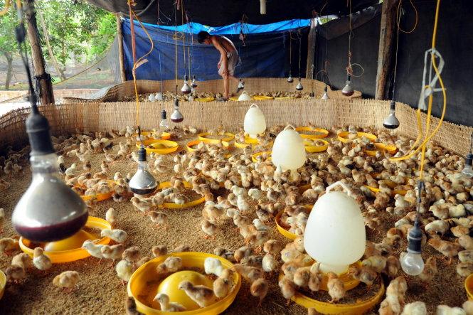 àn gà 5.000 con giÑng Dabaco (B¯c Ninh) cça mÙt trang tr¡i t¡i huyÇn Long Thành, Óng Nai - ¢nh: A LÙc