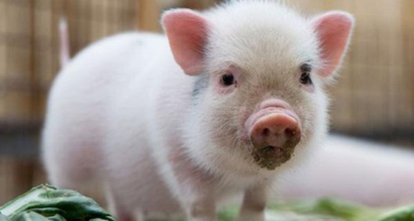 Xử lý nghiêm việc buôn bán lợn cảnh nhập lậu