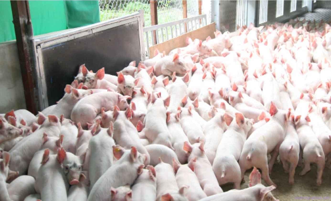 Các biện pháp nâng cao năng suất sinh sản ở lợn nái