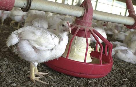 Nhu cầu dinh dưỡng cho gà thịt