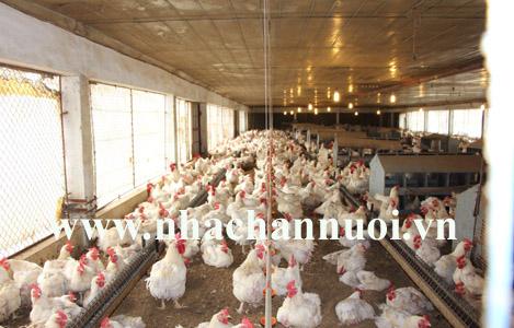Giá gà tăng nhanh do tạm ngừng nhập từ Mỹ