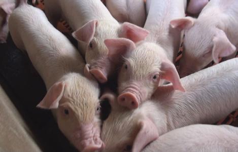 Chăm sóc nuôi dưỡng lợn con sau cai sữa