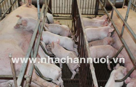 Nâng cao năng suất và hiệu quả chăn nuôi: Chọn lọc và quản lý tốt đàn lợn cái hậu bị