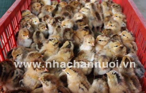 Kiểm tra gà con và cải thiện khả năng nở của gà con