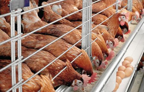 Kỹ thuật nuôi gà siêu trứng mang tiền tươi thóc thật ngay trong ngày