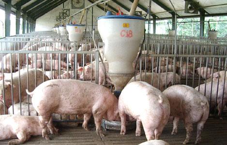 Ảnh hưởng của men Aspergillus oryzae và Sacchromyces cerevisiae trong khẩu phần cám gạo và bã sắn của lợn thịt