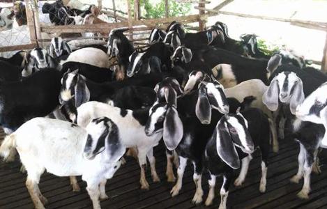 Một số giống dê hiện có  tại Việt Nam