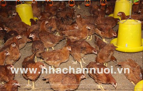 Trà Vinh: Hiệu quả nhờ chăn nuôi gà bằng đệm lót sinh học