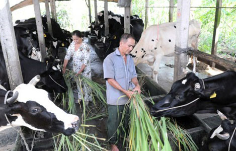 Phương thức cho bò sữa ăn để đạt hiệu quả kinh tế cao