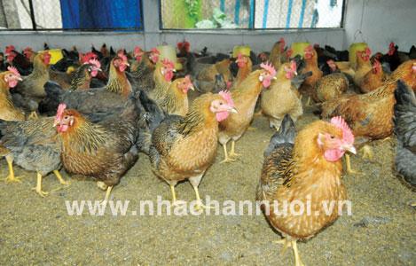 Gà VBT1: Giống gà thích ứng biến đổi khí hậu