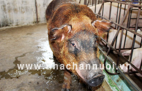 Nâng cao năng suất sinh sản của đàn lợn đực giống (P2)