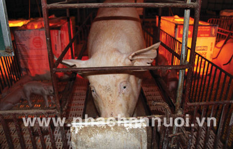 Phát hiện virus mới gây bệnh trên lợn