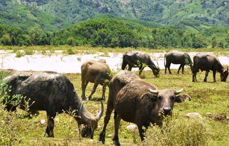 Dự trữ thức ăn cho trâu bò trong mùa hè