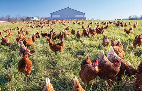 7 sản phẩm sử dụng để thay thế kháng sinh trong thức ăn cho gà thịt tại Mỹ