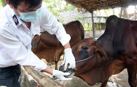 Những điều cần biết về bệnh lở mồm long móng trên gia súc