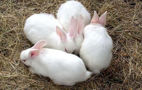 Cách lựa chọn các giống thỏ tốt