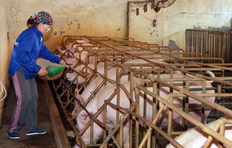 4 nguyên tắc cơ bản trong công tác phòng chống dịch bệnh tại trại chăn nuôi heo