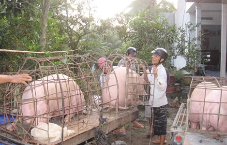 Giá lợn hơi Bến Tre đã tăng trở lại 40.000 đồng/kg
