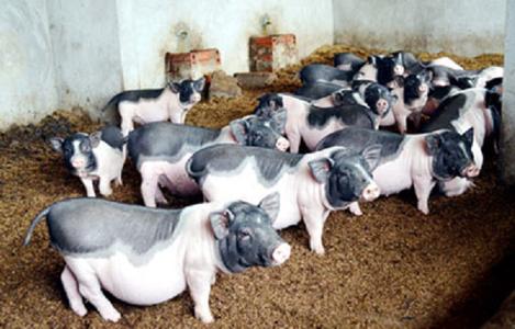 Quảng Ninh: '4 tại chỗ' bảo vệ giống lợn quý Móng Cái