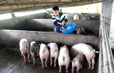 Hoài Ân (Bình Định): Giá heo hơi lại giảm