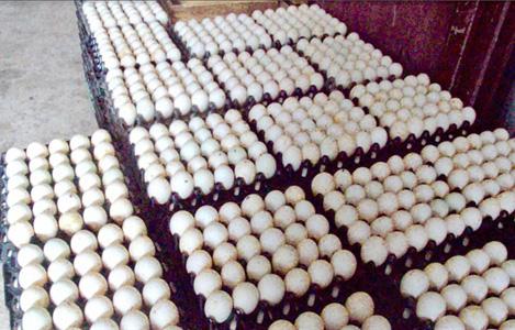 Ảnh hưởng của kích cỡ hạt (nghiền) đến sản lượng và chất lượng trứng