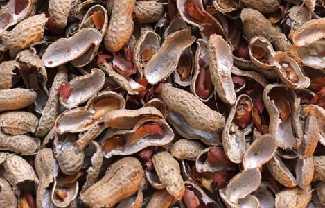 Vỏ đậu phộng (vỏ lạc), nguồn cung cấp xơ trong thức ăn gia súc