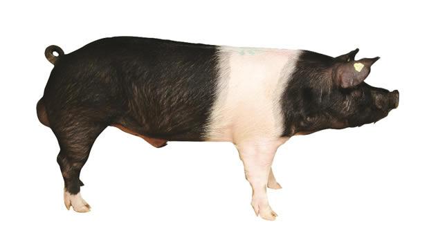 Giới thiệu một số giống lợn ngoại