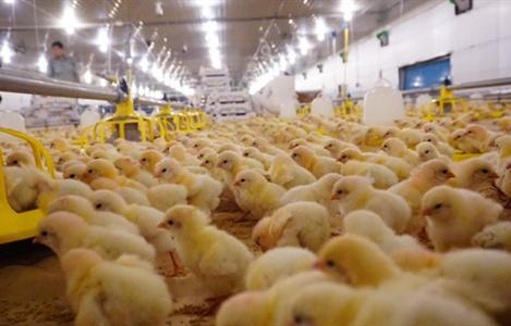 Một số giống gà có thể kháng với bệnh cúm gia cầm