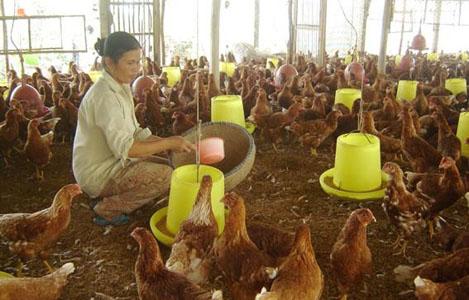 Công thức khẩu phần ăn nuôi gà