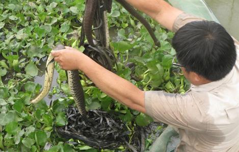 Hướng dẫn kỹ thuật nuôi rắn ri voi