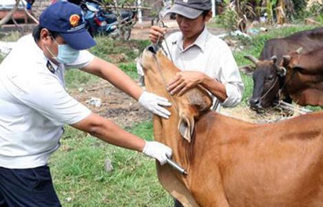 Bà Rịa - Vũng Tàu: Từ ngày 15-5 đến 20-6 tiêm phòng bổ sung cho gia súc tại vùng có nguy cơ cao về dịch bệnh