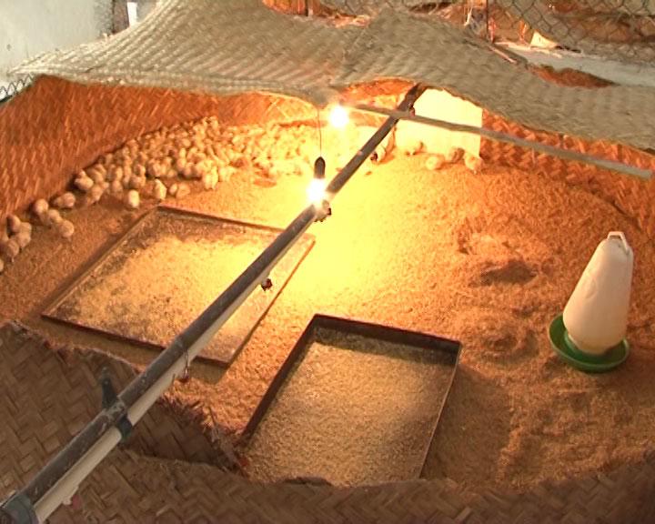 Kỹ thuật chăn nuôi gà ai cập