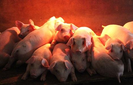 Cuối năm tăng trưởng chăn nuôi sẽ gặp khó?