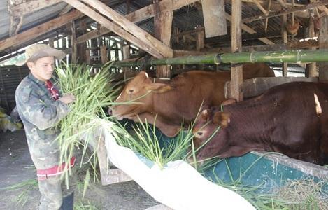 Bò rớt giá, người chăn nuôi bị thương lái o ép…