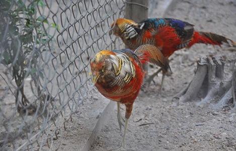 Kỹ thuật nuôi chim trĩ 7 màu sinh sản