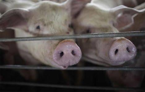 Nghiên cứu về vi-rút cúm ở lợn