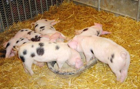 Xác định tỷ lệ tiêu hóa protein và axit amin hồi tràng biểu kiến trên lợn của một số nguyên liệu TACN ở Việt Nam