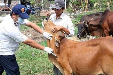 Bí quyết phòng, tránh 4 bệnh cho trâu bò khi trời rét