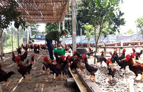 Hiệu quả từ nuôi gà theo chuỗi