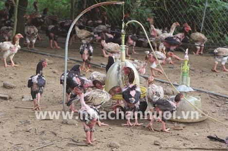 """Phú Thọ: """"Thủ phủ"""" gà lông màu"""