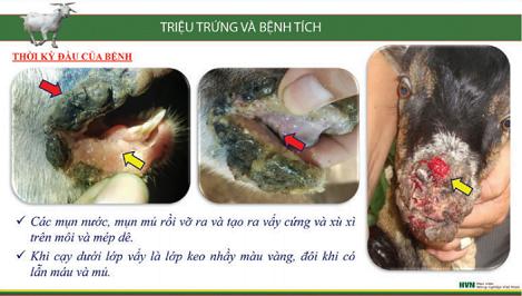 Nhận biết và phòng trị bệnh viêm loét miệng truyền nhiễm ở dê, cừu