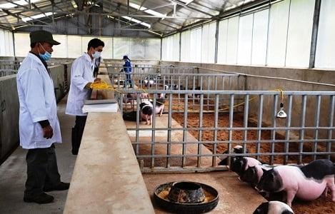 Phát triển đàn lợn bản địa gắn với tiêu thụ sản phẩm sạch ở Lào Cai