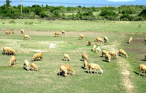 Ninh Thuận: Nông dân Ninh Sơn phấn khởi vì giá cừu tăng