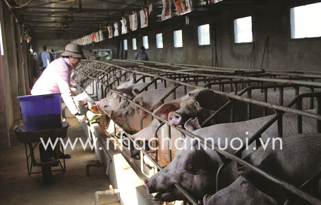 Bình Thuận: Giá heo hơi tăng nhẹ