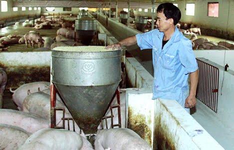 Giá lợn hơi vẫn thấp nhưng quy mô nuôi trang trại tăng