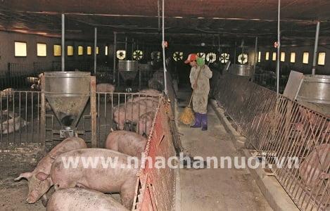 Giá lợn giảm từ 8.000 - 9.000 đồng/kg