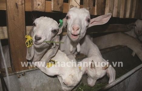 Hậu Giang: Hiệu quả mô hình nuôi dê lấy sữa