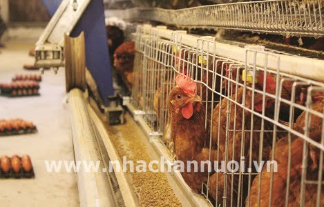 Hà Nội: Làm gì để chăn nuôi thực sự bền vững, hiệu quả?