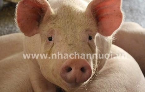 Alibaba: Phát triển trí tuệ nhân tạo trong chăn nuôi lợn