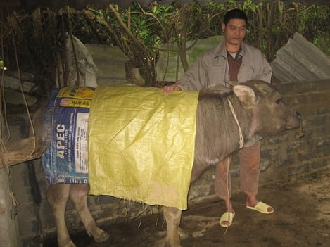 Hà Giang: 37 con trâu, bò bị chết rét
